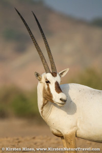 Note the impressive horns of the Arabian Oryx.