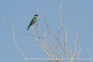 A European Bee-eater perched among branches.