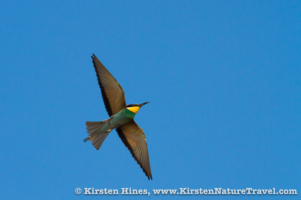 A European Bee-eater cuts across the sky, glowing in the evening light.