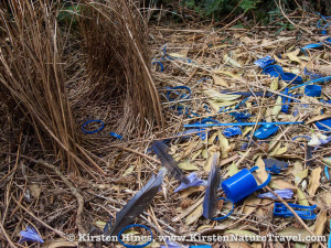 A bowerbird's bower lavishly decorated in feathers, flowers, cicada exoskeletons and blue plastic.