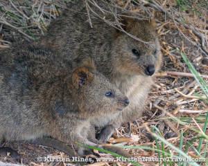 A pair of quokka on Australia's Rottnest Island.