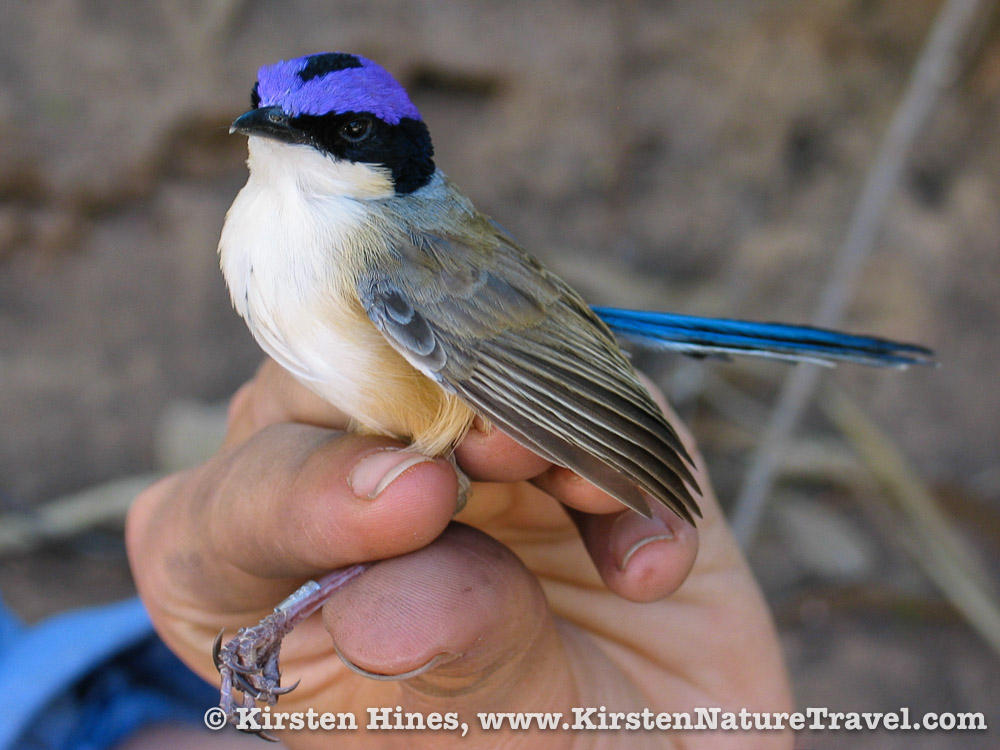 A male Purple-crowned Fairywren in breeding plummage.
