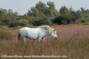 Camargue horse grazing in a restored marsh in Provence, France.