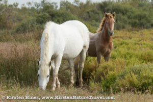 A white adult grazes while a brown colt stands beside.