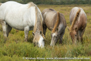 An adult and two young Camargue horses graze.