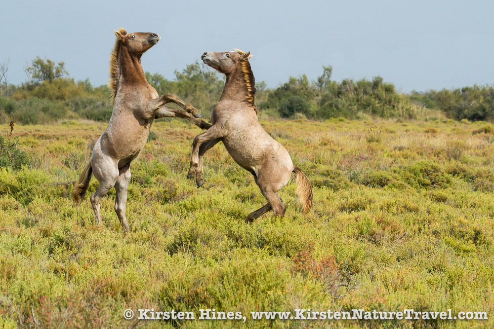 Camargue colts play fight in Provence, France.