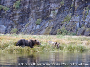 Grizzly Bears foraging at the edge of the river.