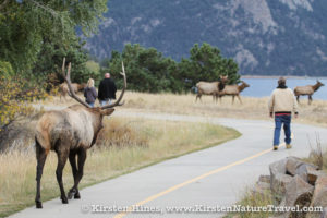 Elk and people sharing the sidewalk at the Estes Park golf course.