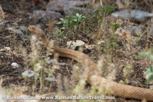 Grand Canyon Pink Rattlesnake meandering through grasses.