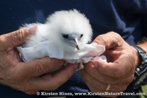 A White-tailed Tropicbird chick on Nonsuch Island, Bermuda.