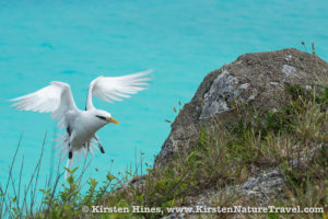 White-tailed Tropicbird entering an artificial nest on Nonsuch Island, Bermuda.