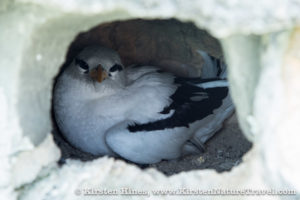 An adult White-tailed Tropicbird in an artificial nest.