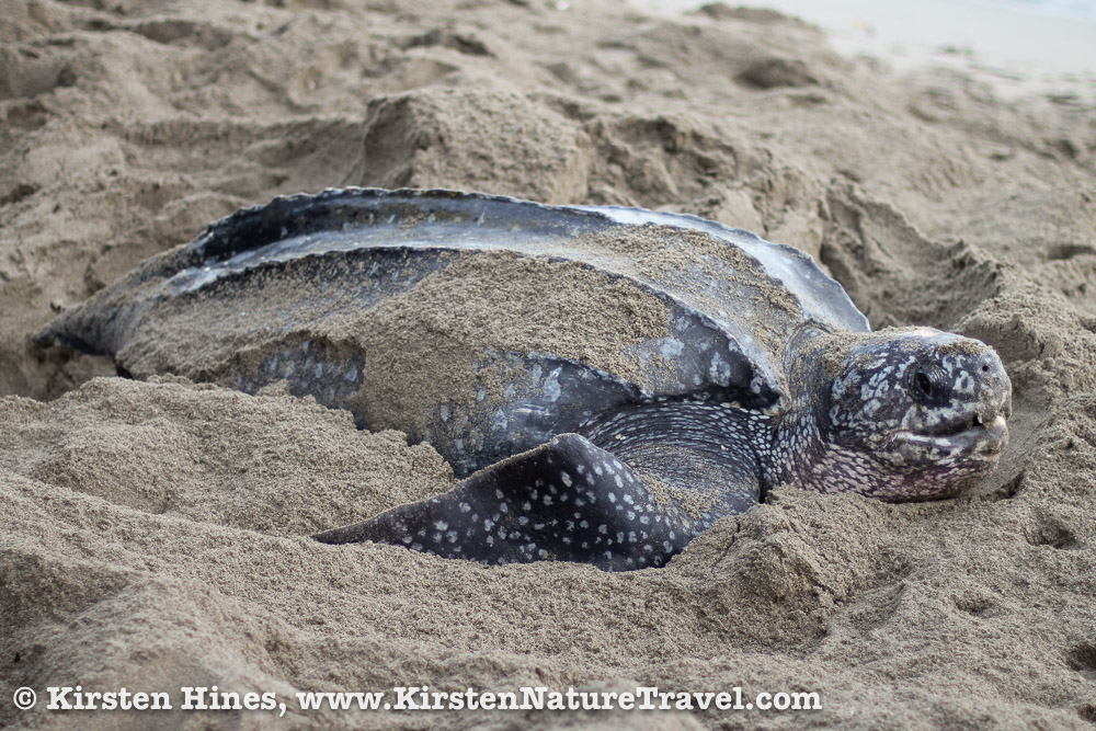 Leatherback Sea Turtle on her nest (dawn).