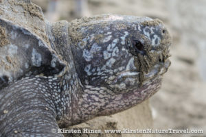 Gelatinous tears protect a Leatherback's eyes from sand and desiccation.