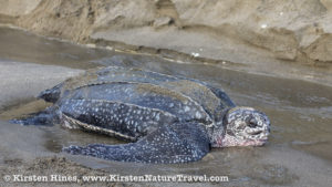 Leatherback returning to sea after nesting (dawn), eggs from exposed nests in the sand bank behind.