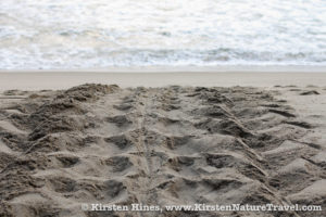 Leatherback Sea Turtle tracks on Grand Riviere's beach, Trinidad.