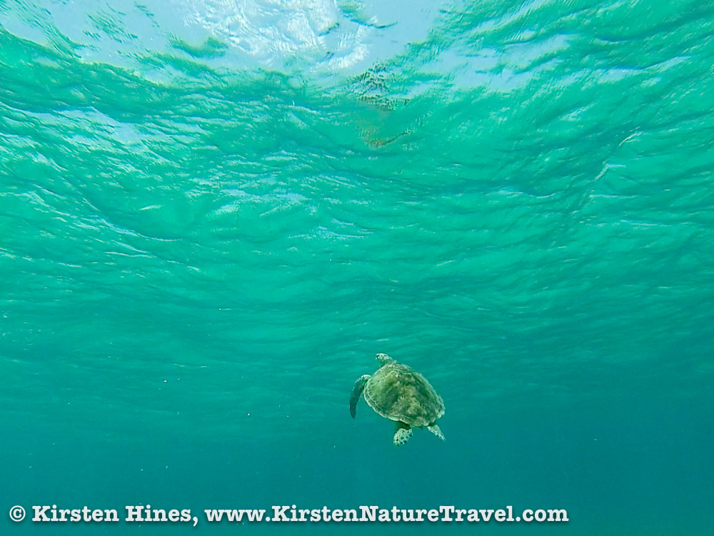 A Green Sea Turtle heading toward the water's surface.