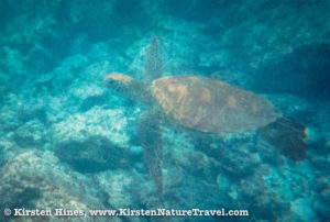 Green Sea Turtle in a protected cove of the Galápagos.