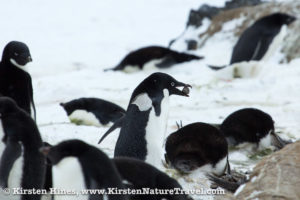 Adelie Penguin carrying a rock through the colony.