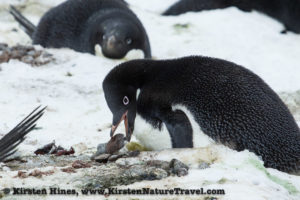 Adelie Penguin pulls a gifted rock into its nest.