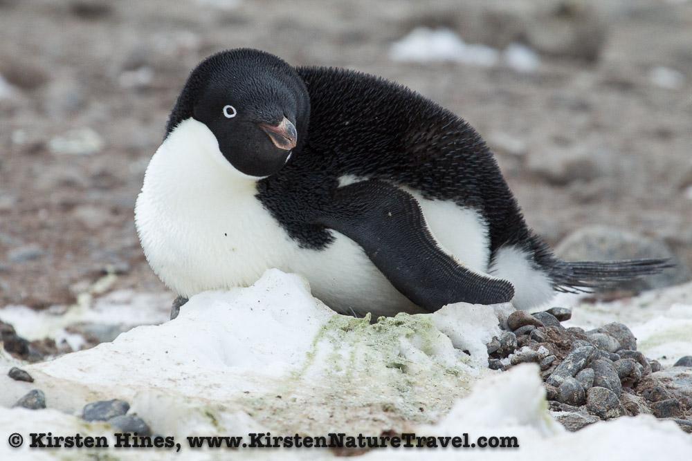 Adelie Penguin on its nest.