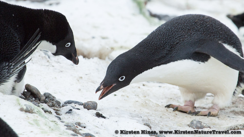 Adelie Penguin presents a rock to its nest-tending mate.