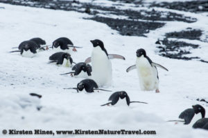 Adelie penguins sliding and waddling down the beach.