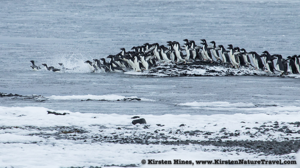 The front line of penguins being forced into the Weddell Sea.
