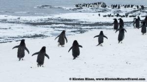 Adelie Penguins returning to the spit.