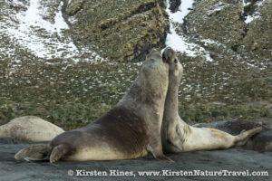 Elephant seal bulls battling.