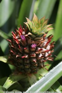 Flowers developing into a pineapple fruit.